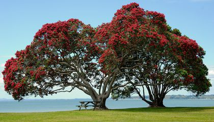 New Zealand's Iconic Pōhutukawa Tree May Have Roots in Australia