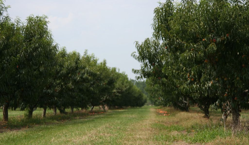 Peach orchard at the U.S. Department of Agriculture's Fruit and Tree Nut Research Laboratory, Byron, Georgia