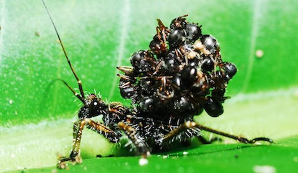 This modern-day assassin bug stacks dead ant bodies on its back to confuse predators.