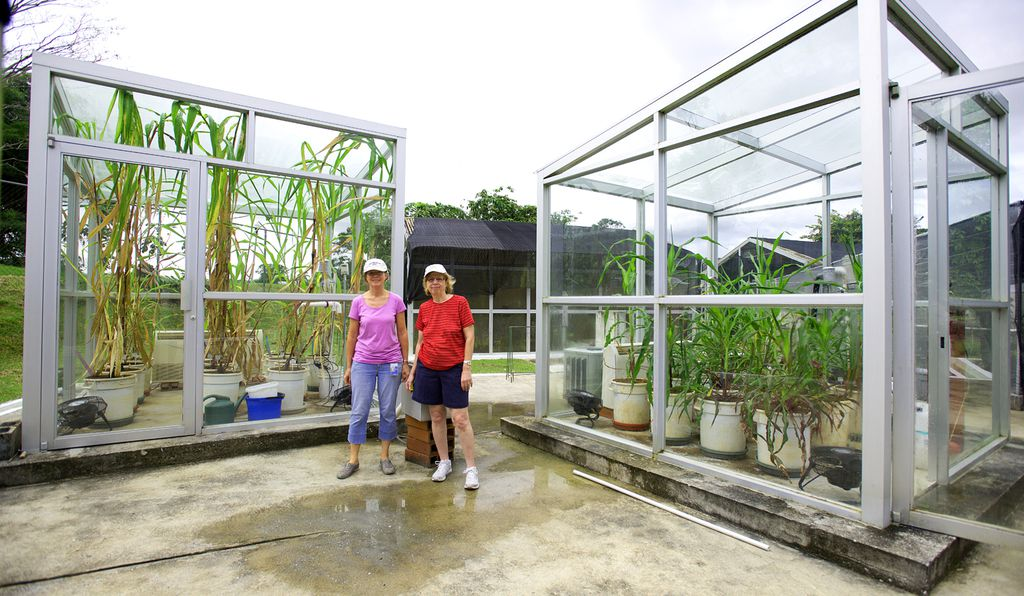 Corn's wild ancestor, teosinte, is shown growing under modern (chamber on the left) and under past (chamber on the right) climate conditions. Smithsonian scientists Dolores Piperno (right) with Irene Holst.