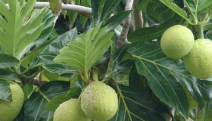 Exotic Fruits to Eat Locally When Traveling Globally