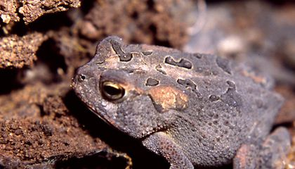 A Deadly Fungus Is Wiping Out Frogs and Toads—But Some Can Develop Resistance