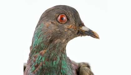 Solving a 100-Year-Old Mystery About the Brave Pigeon Cher Ami