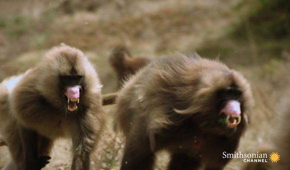 Preview thumbnail for video'Two Gelada Brothers Viciously Fight for Breeding Rights