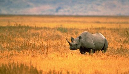 China Reverses Its Ban on the Use of Rhino and Tiger Parts in Medicine