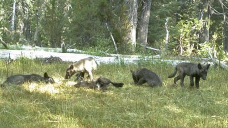 Calif. wolf pack