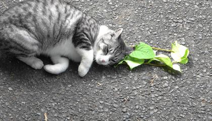 Felines May Use Catnip for More Than Just Euphoria