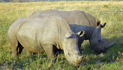 South Africa to Legalize Domestic Rhino Horn Trade
