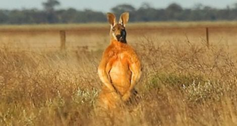 Flexing-kangaroo-470.jpg