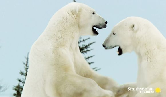 Preview thumbnail for video'Why Polar Bears Like to Wrestle in the Winter
