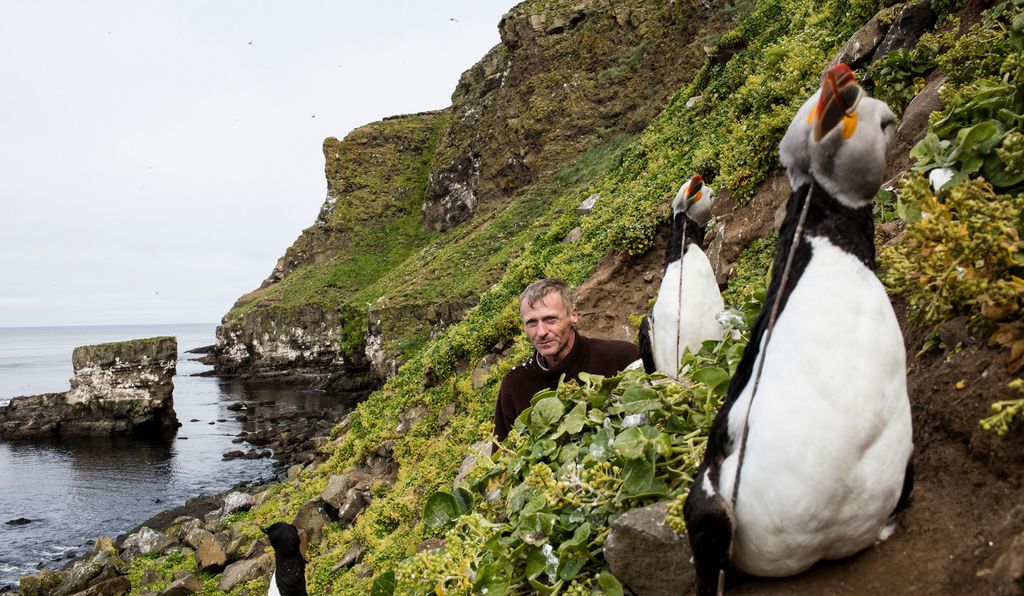 Árni Hilmarsson uses decoys to lure puffins close to waiting hunters.