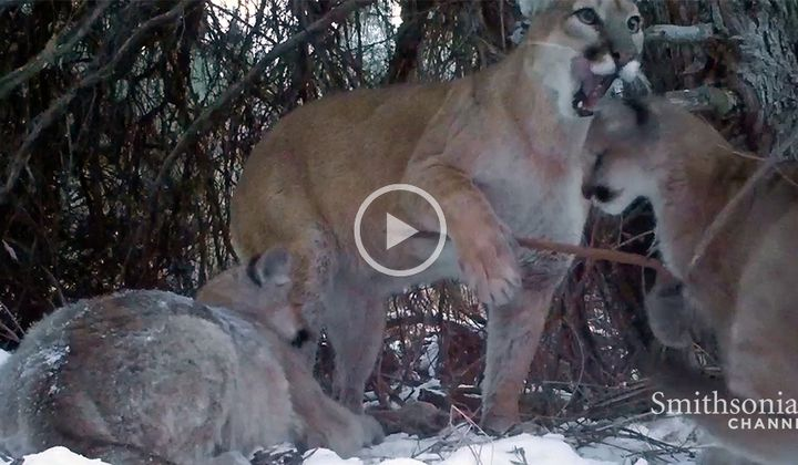 Cameras Catch Glimpse of Mountain Lion Family