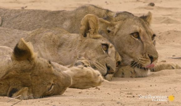 Preview thumbnail for video'Hostile Lioness Withholds Food from Hungry Orphaned Cubs