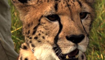 How To Film a Cheetah Sprinting at 61 Miles Per Hour