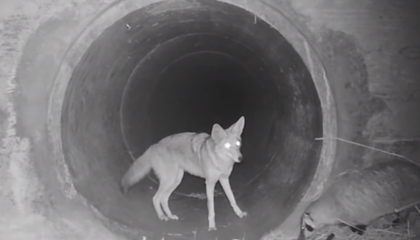 Watch a Coyote and Badger Hunt Their Prey Together