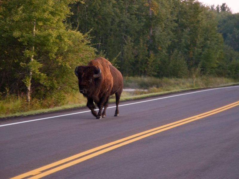 Walking Bison