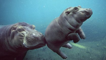 Perfectly Pudgy Newborn Hippo Arrives at the San Diego Zoo