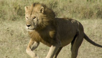 Should Trophy Hunting of Lions Be Banned?