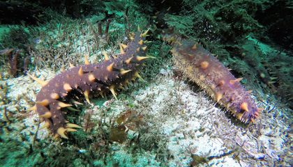 Is the Mysterious Sea Cucumber Slipping Out of Our Grasp?