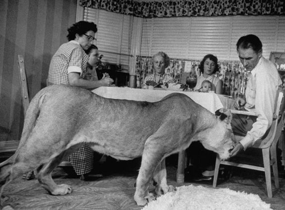 This lion is hungry–for meatloaf!