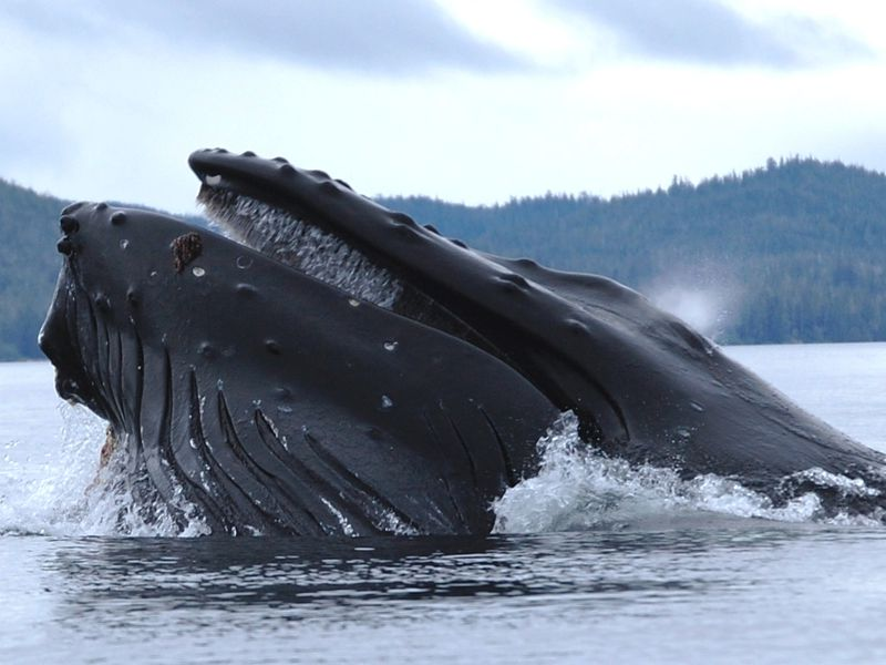 A humpback whale resurfacing from the ocean