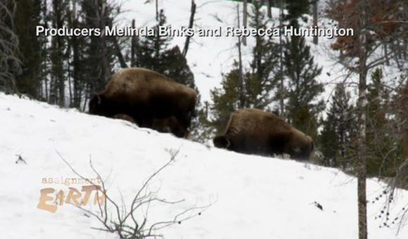 Preview thumbnail for video'New Rules for Yellowstone Bison