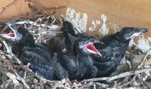 Tower of London Welcomes Four Baby Ravens