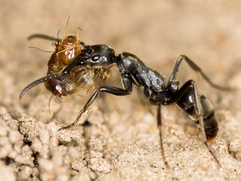 Megaponera_Major_with_termites,_crop.jpg