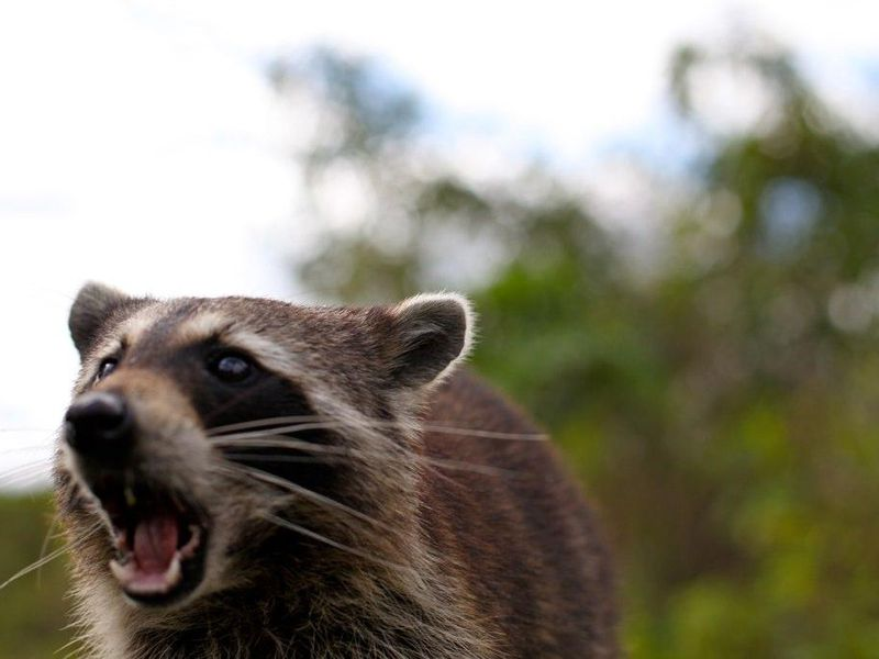 Youngstown police investigate reports of 'zombie' raccoons