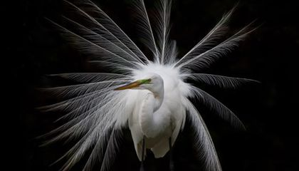 How the Great White Egret Spurred Bird Conservation