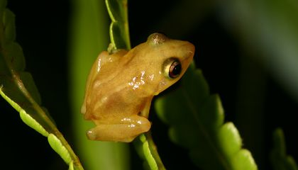 Chirps of Coqui Frogs May Be Getting Shorter and Higher Pitched As Climate Warms