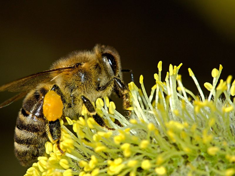 A close-up photo of a bee collecting pollen from a yellow flower.