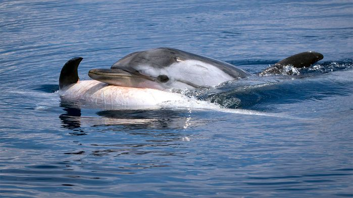 Marine Study Examines Stress Brain >> Study Suggests Dolphins And Some Whales Grieve Their Dead