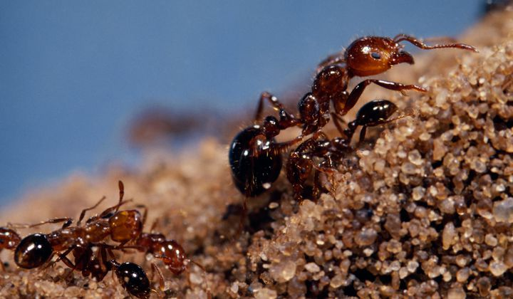 How Humans Helped Ants Invade the World