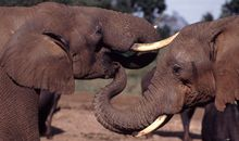 Cancer Is One Worry Elephants Can Feel Free to Forget