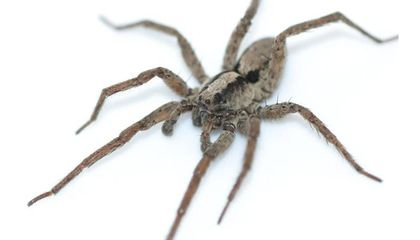 Listen to the Dulcet Purr of a Wolf Spider