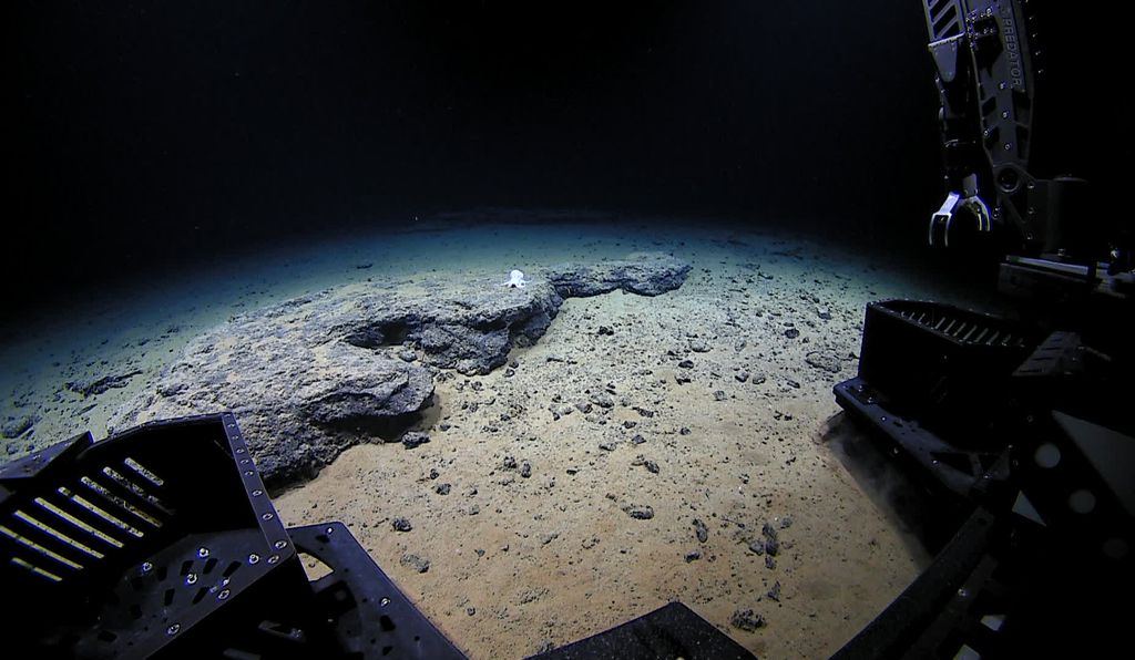 The Deep Discoverer came across a ghostly new species of octopus hanging out on a flat rock deep beneath the Pacific Ocean.