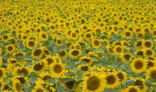 Sunlight-Tracking Polymer, Inspired by Sunflowers, Could Maximize Solar Power