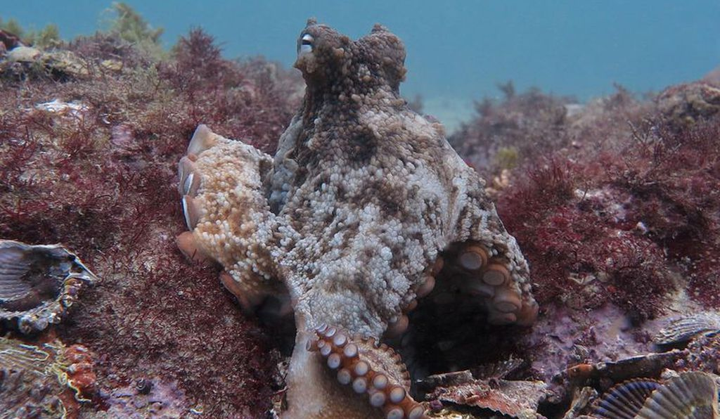 A gloomy octopus among piles of discarded shells at Octlantis.