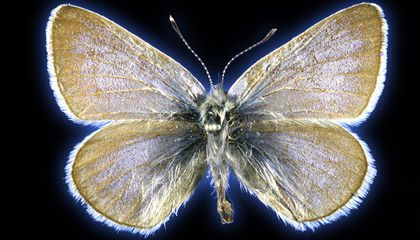 This Butterfly Is the First U.S. Insect to Be Wiped Out by Humans