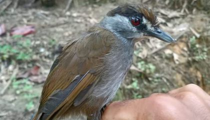 Long-Lost Babbler Bird Documented in Borneo for the First Time in Over 170 Years