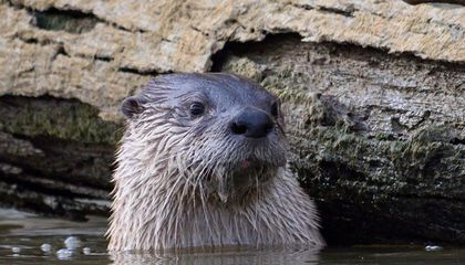Lontra canadensis, the North American river otter. (Credit: Matthew Fryer)
