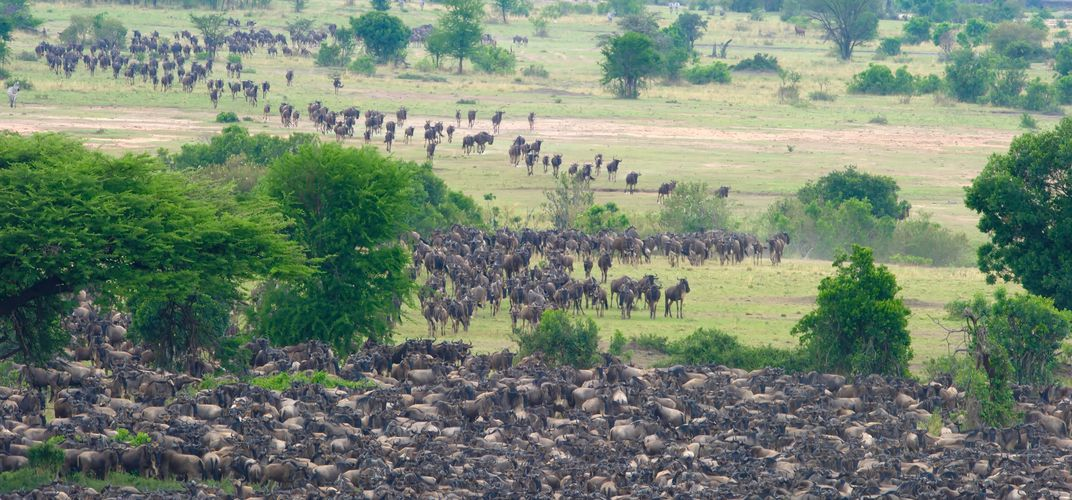 Wildebeest herd during the Great Migration