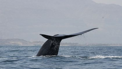 Scientists Eavesdrop on New Population of Blue Whales Singing in the Indian Ocean