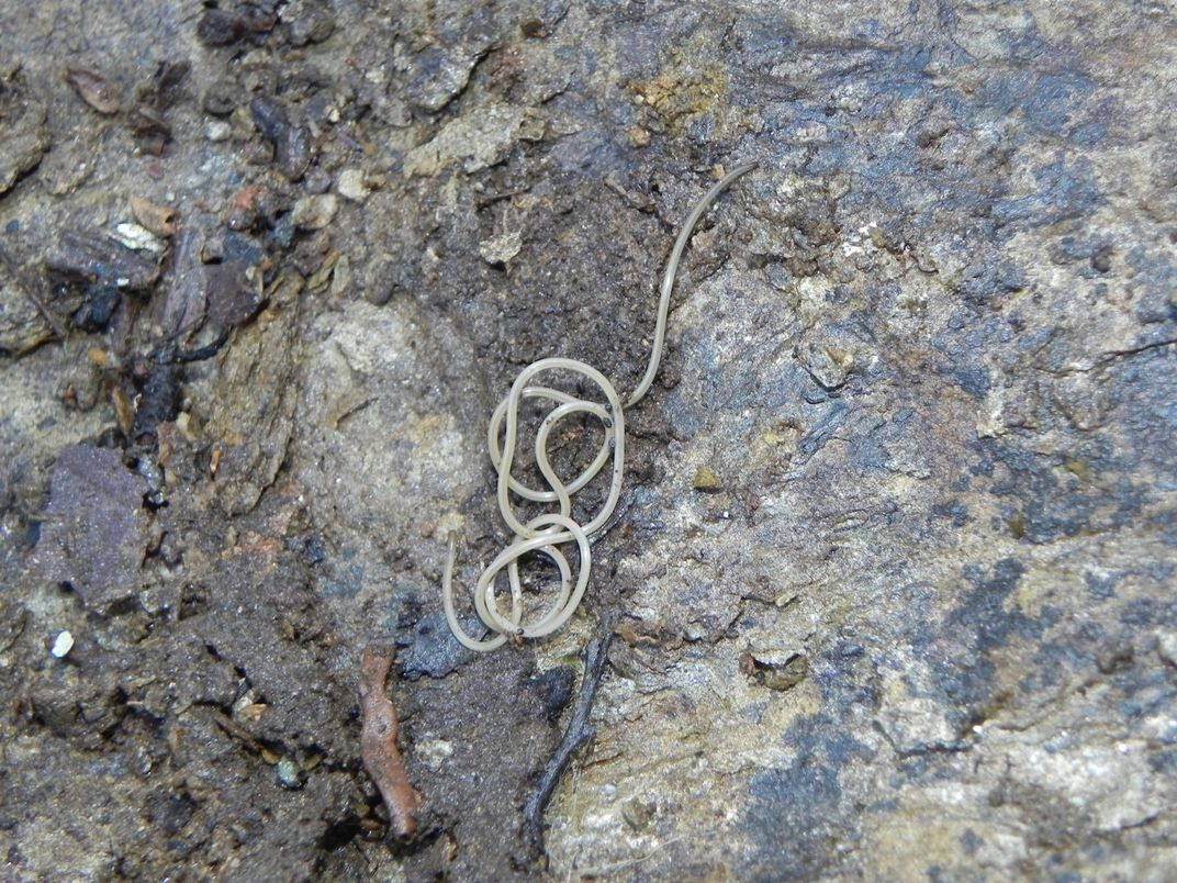 A white worm on a gray rock.