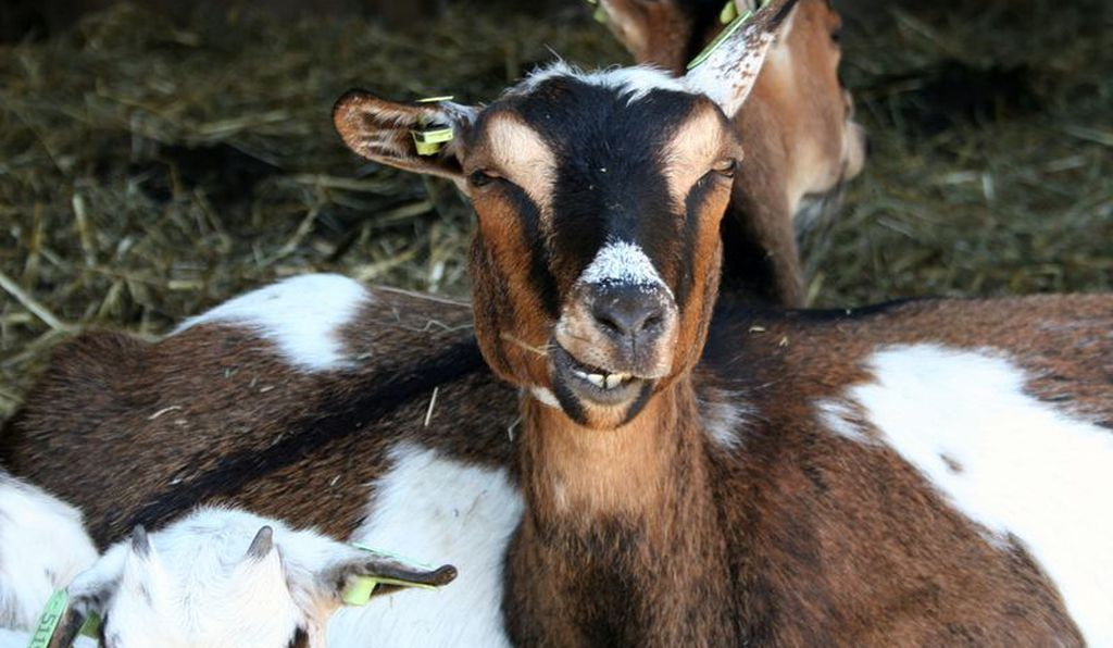 So... goats are just Hippogriffs without the beak or wings, right?