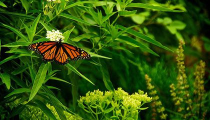 Migrating Monarch Butterflies Might Actually Take to the Highway