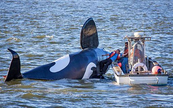 Fake orca flops as sea lion scarecrow