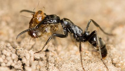 These Ants Give Life-Saving Treatment to Injured Nest-Mates