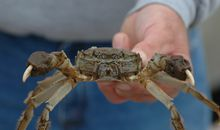 Wanted: The Hunt for Chinese Mitten Crabs Is Back On